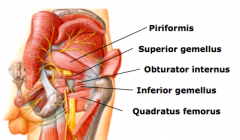 Piriformis (p551) P = Anterior surface of sacrum and sacrotuberous ligament D = Superior border of greater trochanter N = Branches of ventral rami of S1, S2 A = Laterally rotates extended thigh and abducts flexed thigh; steady femoral head in acetabul