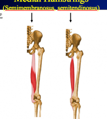 Semitendinosus P = Ischial tuberosity D = Medial surface of superior part of tibia N = Tibial division of sciatic N (L5, S1, S2) A = Extend thigh; flex leg and rotate it medially with knee flexed  Semimembranosus P = Ischial tuberosity D = Posteri