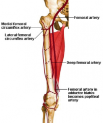 Profunda femoris artery (deep femoral)  a.largest branch of femoral artery and chief artery of thigh – lies deep to femoral artery. Supplies adductor magnus and hamstrings via perforating femoral arteries  b.usually the perforating femoral arteries ar
