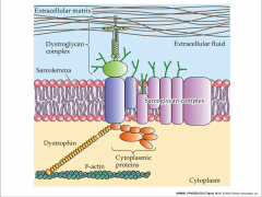 - dystroglycan complex = proteins that  interact with extracellular matrix and bound to sacroglycan complex