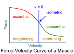 - decreases with increased velocity of contraction during concentric contraction