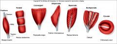 - at angle to longitudinal axis of muscle