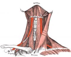 Body of hyoid bone (lower border)