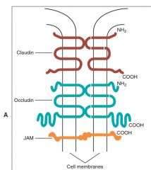 #In occluding, or tight junctions the opposing cell membranes are held in close contact by the presence of transmembrane adhesive proteins arranged in anastomosing strands that encircle the cell. #The intercellular space essentially is obliter...