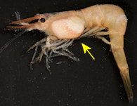 Ectoparasites or decapod crustaceans Two host life cycle with two infectious larval stages:  Epicardium larvae infects copepods (IH) Cryptoniscus larvae infects decapods (DH) Dwarf males, large blob-like females Facultative castrators because the...