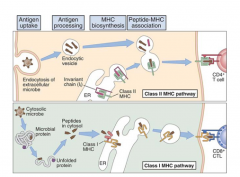 1. Uptake of antigen by antigen presenting cells 2. Fusion of the endocytotic vesicle with lysosomes that release their contents into the endosome.  3. 2nd fusion process creating a chimeric endosome -  class II MHC/Ii complex is exposed to lysosomal en
