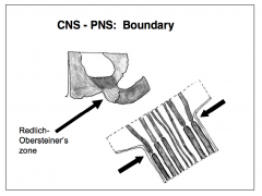 - Near the junction between sensory or motor roots and the brain or spinal cord, there is a narrow transitional zone between the CNS and PNS - Marked by the basal lamina of the surrounding Schwann cell, the myelinating cell of the peripheral nervous syst