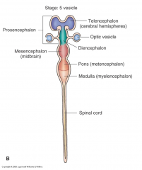 - Lateral ventricles - Derived from rostral prosencephalon - Cerebral hemispheres - Cerebral cortex - Basal ganglia - Foramina of Monro - Closely tied to olfactory nerves - Planning, driving of motor activity, perceptual and cognitive functions