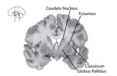 - Groups of neurons that are concerned with the initiation and organization of movement - Includes:  - Caudate nucleus - Putamen - Globus pallidus - Claustrum - Lie close to the lateral ventricles