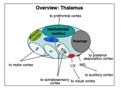 Relays virtually all sensory input to sensory cortices. It also processes output from the basal ganglia and cerebellum to regulate the motor cortex and hence movement.