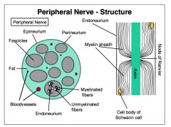 - Carry both sensory and motor information - Sensory information travels along axons of afferent neurons - Motor information travels along the axons of the lower motor neurons innervating skeletal muscle - All cranial nerves, except CN II, are periphe