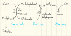 Glutamate can undergo uncoupled deamination to alpha-ketoglutarate releasing NH3 which can be excreted in urea.This process can also be coupled with the transamination of another AA used for metabolism
