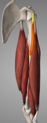 O: Corcoid process I: middle third of humerus A: flex and adduct arm at shoulder N: musculocutaneous