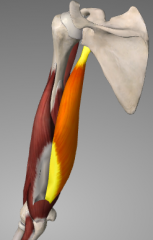 o: infraglenoid tubercle  i: olecranon process A: extension at elbow joint; resist inferior dislocation during adduction n: radial nerve