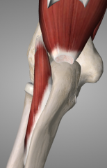 o: lateral epicondyle of humerus i: lateral surface of olecranon process and superior part of posterior ulna  a: assists in forearm extension, stabilizes elbow n: radial nerve