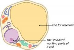 Regular animal cells with little mitochondria and cytoplasm, with a fat store. Can expand to thousands of times its original size.