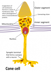 Special pigment to help see at the top of the cell. A heavily mitochondria filled centre and a special synapse at the deepest part of the cell, that connects to the optical nerve.