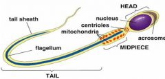 A large nucleus to pass down genetic info. A long tail to move easily in the womb, coupled with a middle section full of mitochondria to give energy for movement.  Arcosome at the tip to break down the females egg on contact.