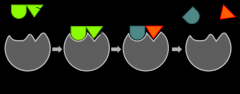 The substrate, or reactant, fits into the active site of the enzyme, in a sort of lock and key method.  Once the substrate are in place the enzyme binds or unbinds them.