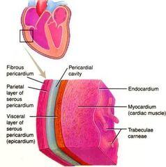 Lines the fibrous pericardium (slippery, internal lining)