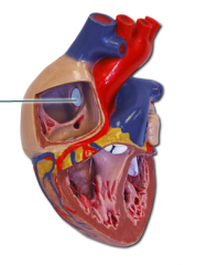 Remnant of the fetal foramen ovalis (in the womb, oxygenated blood is provided by our mothers, so blood to the lungs aren't yet required)