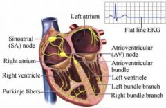 The hearts own intrinsic nervous system that allows the heart to beat on its ownSinuatrial node (upper wall of the right atrium)Atrioventricular node (medial wall of the right atrium)Atrioventricular Bundle (in the interventricular septum)