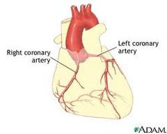 The heart is suppled by the first two branches of the aorta, the RIGHT and LEFT CORONARY ARTERIES. The hearts walls are thick, thus needs blood to be supplied to the outside walls, and through diffusion from interior walls. Right coronary artery- ...