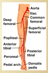 • Femoral artery- in the anterior thigh (VAN: vein, artery, nerve)• Popliteal artery- continuation of the femoral artery behind the knee• Anterior tibial artery- supplies anterior leg• Posterior tibial artery- supplies posterior leg and is...