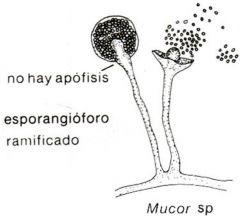 MUCOR   -hongo moho de hifa no septada.   -esporangioforo que termina en columnella.   -esporangio con esporangioesporas.