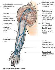 • Cephalic vein: along lateral side of upper limb- usually drains into axillary vein• Basilic vein: along medial side of upper limb- drains into the brachial vein• Median cubital vein: joining cephalic and basilic in cubital fossa, i.e. fron...
