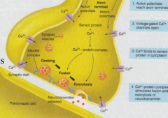 -the two cells are separated by a small space called the synaptic cleft. neurotransmitters are stored in synaptic vesicles in the axon terminus of the presynaptic neuron.