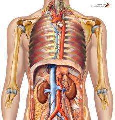 L'anatomie est une science descriptive étudiant la structure interne, la topographie et le rapport des organes entre eux.