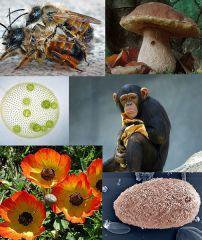 Protistes, végétaux, eumycètes, animaux.