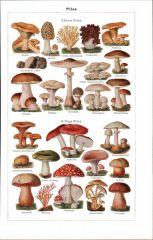 Les eumycètes sont les champignons vrais ou fungi. Ils sont fondamentalement absorbotrophes et ne se nourrissent donc que de nutriments présents dans leur environnement.