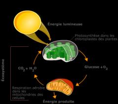Métabolisme cellulaire (forme d'énergie, utilisés pour la respiration cellulaire, assez petits), réserve d'énergie pour l'organisme (substance de réserve, hydrolysés au besoin, trop gros), unité structural (protection).