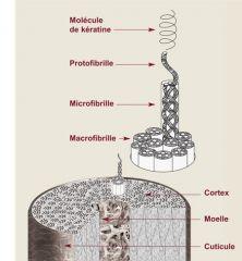 Fibreuses : insoluble, non mobile, support mécanique (ex : muscles, peau, ongles, cheveux). Globulaires : solubles, chimiquement actives, mobiles (ex : anticorps, hormones, enzymes).