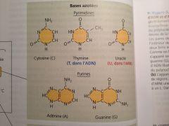 Purines : adénine (A), guanine (G). Pyrimidines : cytosine (C), thymine (T) (ADN seulement), uracile (U) (ARN seulement)