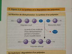Synthèse de liaisons. Nécessite de l'énergie qui est emmagasinée pour un travail futur dans la cellule.