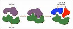 Protéine globulaire qui joue un rôle de catalyseur biologique, c'est-à-dire de composé qui facilite une réaction biochimique sans en modifier les produits.