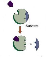 Fermeture d'une voie métabolique grâce à l'intervention du produit final, qui inhibe une enzyme. Permet à la cellule d'utiliser ce qu'elle nécessite et de mettre en réserve le surplus.