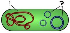 Petits anneaux d'ADN pour résister aux situations imprévues (ex : antibiotiques).