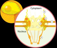 Grands complexes protéiques traversant l'enveloppe nucléaire, qui est une double membrane entourant le noyau des cellules eucaryotes. Permettent les échanges entre le noyau et le cytoplasme.