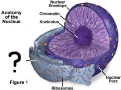 Labyrinthe membraneux étendu en continuité avec l'enveloppe nucléaire. Modifie les protéines, produit des macromolécules, transfère des substances vers l'appareil de Golgi, détoxicaton. Lisse : sans ribosome, rugueux : avec ribosomes.