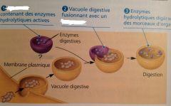 Ont pour fonction d'effectuer la digestion intracellulaire.  Leur membrane contient des protéines de transport, des pompes à protons pour l'hydronium (protons H+) et des canaux ioniques spécifiques aux ions chlorures Cl-.