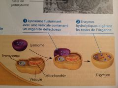 Dégradation d'une partie du cytoplasme de la cellule par ses propres lysosomes.