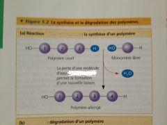 Perte d'une molécule d'eau, ce qui permet la formation d'une nouvelle liaison.