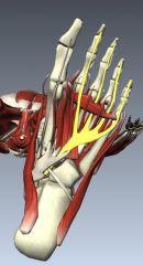 Lumbricals deep to tendon of flexor digitorum longus  Layer 2