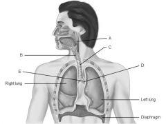 match the following:   1) Main (primary) bronchus.  2) Pharynx.   3) Larynx.  4) Carina of trachea.  5) Trachea.