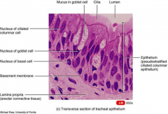 A pseudostratified ciliated columnar epithelium with numerous mucous cells lines the nasal cavity the superior portion of the pharynx, and the trachea, bronchi and large bronchioles.