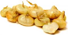 Onion, Cipollini